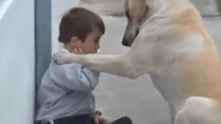 感动! 拉布拉多的举动温暖了, 连父母都无法触碰的自闭症孩子!