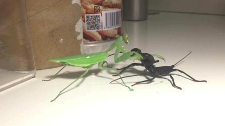 广斧螳螂vs鞭蝎 这只螳螂是国服第一螳螂吧 太凶了