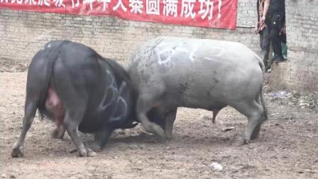 贵州斗牛大赛, 来了一头大黑牛, 战斗力也是猛