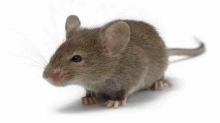 老鼠最怕它, 把它放在家里角落, 第二天老鼠统统消灭掉, 省钱又省心