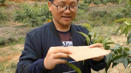 炎陵黄桃种植技术之套袋(炎陵县农广校出品)