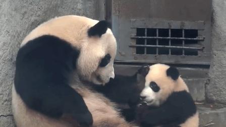 熊猫宝宝向妈妈撒娇被踹, 还要承受生命之重, 有点怀疑熊生