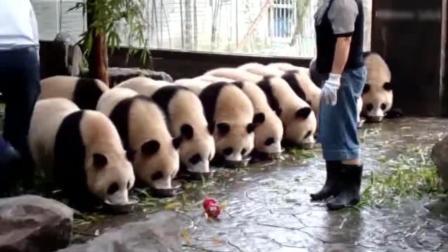 强迫症的饲养员喂养大熊猫, 这画风总觉得哪里不对劲