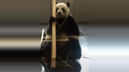 大熊猫妙音小公举: 这竹子咔嗤咔嗤嘎嘣脆