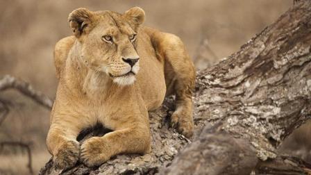 《自然传奇》狮子告诉我们学会利用自己的优点, 才是生存之道