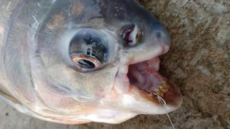 钓到一条鱼, 它的牙口好黄啊, 好久没刷牙了吧