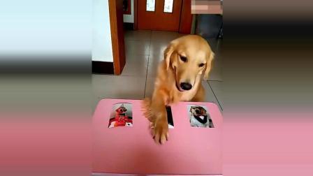 主人让金毛犬选出谁最丑, 金毛犬回答得太棒了, 简直太可爱了!