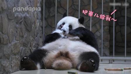 大熊猫妈妈不想带崽, 听到奶妈喊要崽儿, 主动转过身交出宝宝
