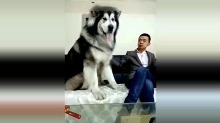 好大一只阿拉斯加 我很大但我很温柔 巨型犬也很可爱
