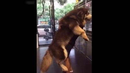 超大阿拉斯加 巨型犬有巨型犬的可爱与温柔 一样很萌