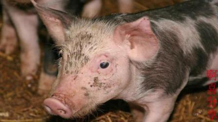 夏天到了你知道如何建设猪舍和猪场消毒了吗