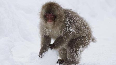 在严寒的冬季到来之时大雪覆盖了整片陆地北美雪猴冻得瑟瑟发抖