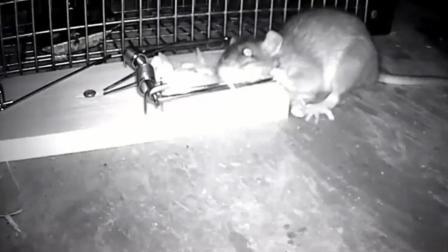 好强悍的老鼠, 被捕鼠器夹住后, 凭毅力还逃脱了!