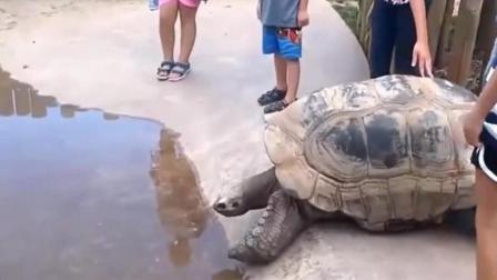 百岁乌龟想去喝口水, 步履蹒跚半天才走到!