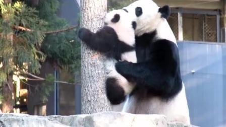 大熊猫宝宝上树不敢下来, 大熊猫妈妈站在边上扶着帮宝宝下来