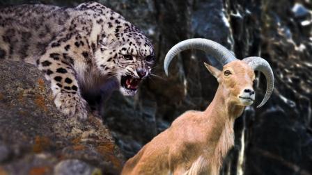 雪豹VS岩羊, 在悬崖峭壁间追逐, 谁才是真正的攀岩之王?