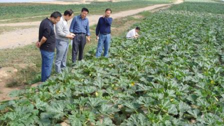 西葫芦摘叶能高产? 可你知道摘几叶最有利于高产