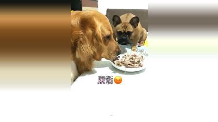 金毛趁主人不在, 偷吃桌上的肉, 法斗看不下去了