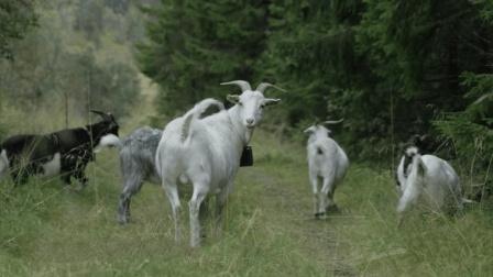 人家发明的高科技放羊器, 利用智能设备, 能让羊群乖乖听话