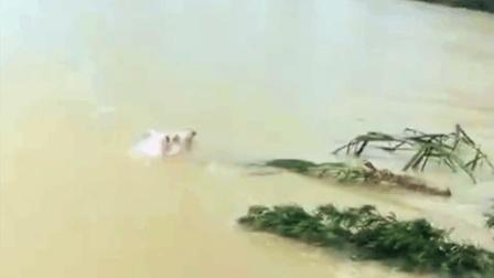 """""""二师兄""""洪流中游泳求生 网友戏称""""猪坚强"""""""
