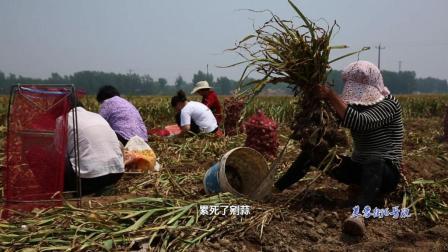 百万亩大蒜丰收, 初期蒜价才几毛钱一斤, 蒜农说还卖不够成本