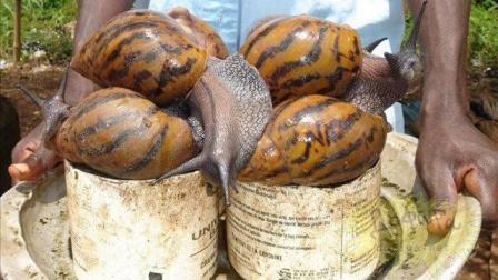 """非洲人将蜗牛视为""""肉中黄金"""", 一年吃3000万斤, 网友: 我不服!"""