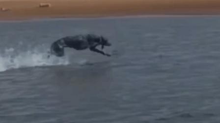 """别人家狗狗已练成""""凌波微步"""", 我家狗狗还不敢下水, 差距咋这么大"""