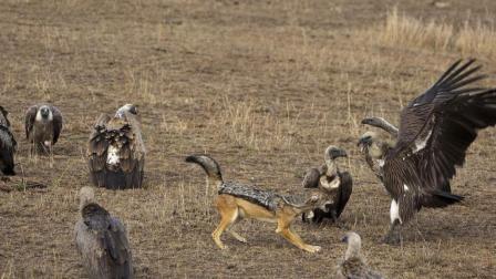 胡狼捕杀秃鹫? 那是不可能的?