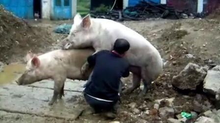 8月24日骑行黄果树 偶遇 猪儿配种