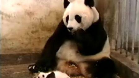 打喷嚏的熊猫宝宝