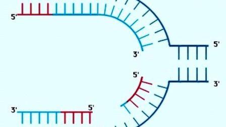 DNA复制