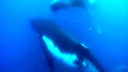 绿色和平带你伴座头鲸遨游