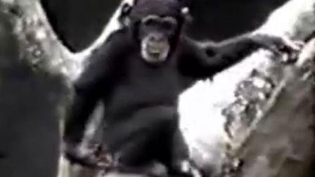 被自己熏倒的猩猩