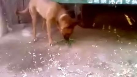 狗也吃草呀!!!