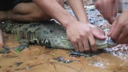 野外求生, 生存哥抓了一只大鳄鱼, 这给捆的也太结实了