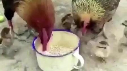 母鸡给够不到食物的小鸡啄食, 太感人了