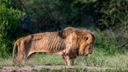 心酸! 前任狮王被狮群排挤, 瘦到就剩骨头架子!