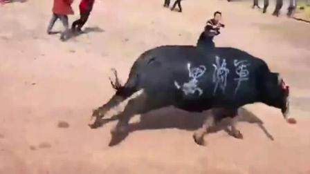 斗牛: 牛角直接撞断, 牛王从此永远退出斗牛比赛