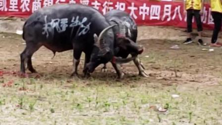 """""""牛角 """"戳进了嘴里, 这就是长角牛独特的优势。"""