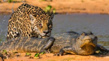 凶猛美洲豹捕杀鳄鱼, 谁才能笑到最后? 结局你不一定知道!
