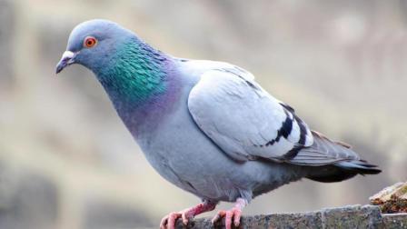 泰国鸽子泛滥成灾, 中国吃货: 如果泰国免签, 我能把鸽子吃到灭绝
