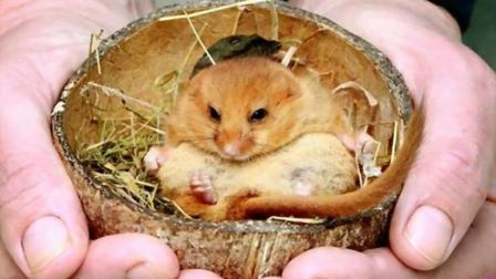 这种动物让人哭笑不得, 生命80%时间都在睡觉, 还会在睡觉中饿死!