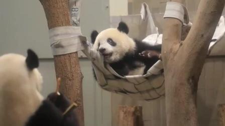 大熊猫香香1周岁生日, 霸占了麻麻的吊床, 麻麻都装作没看见