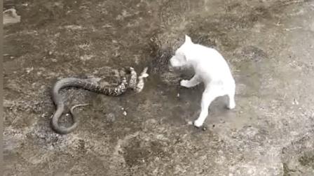 小狗对战毒蛇, 狗狗惨败, 只听一声惨叫悲剧了
