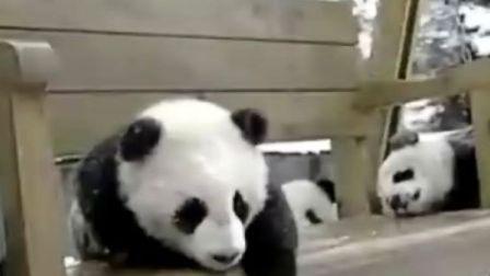 熊猫宝宝玩滑滑梯
