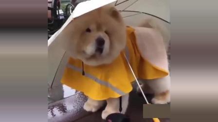 看到泰迪吃冰糕才知道大家说的人模狗样是怎么回事, 太牛了!