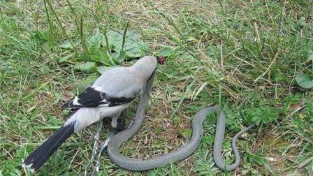 鸟类中的强盗伯劳, 没有它不敢吃的, 做风干腊肉是它的强项!