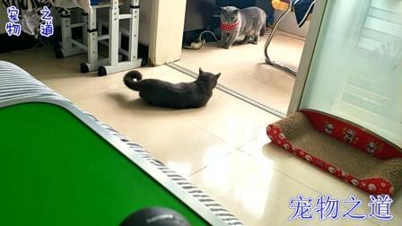公猫偷吃猫宝宝零食, 被母猫堵阳台不准出来, 公猫的表现让人笑翻