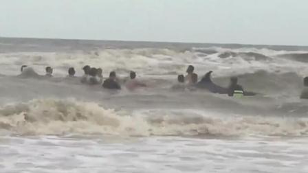 12米鲸鱼搁浅海滩 村民大风浪中舍命营救