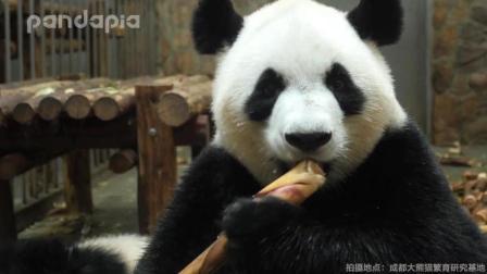 国宝大熊猫吃笋笋, 我能看一整天~